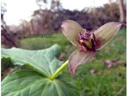 Trillium smalli