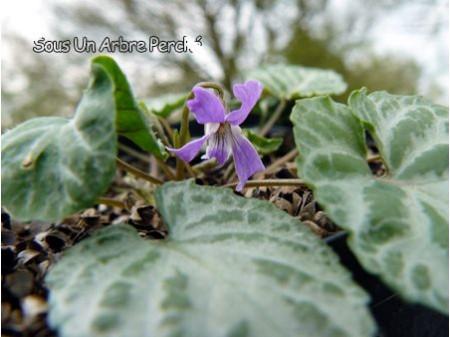 Viola selkirkii f. variegata
