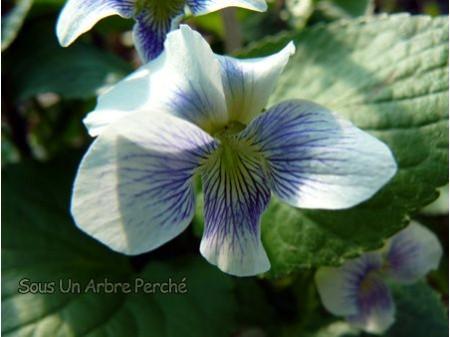 Viola sororia 'Priceana'