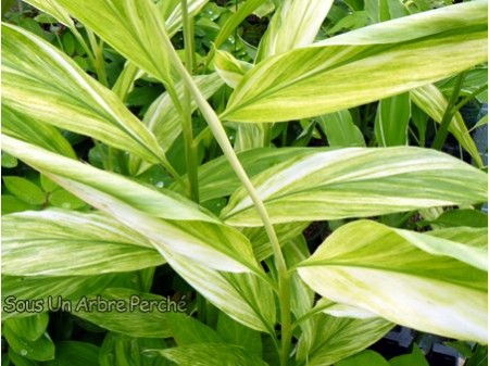 Zingiber mioga 'White Arrow'