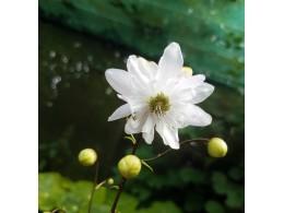 Anemonopsis macrophylla double