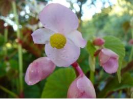 Begonia grandis ssp evansiana