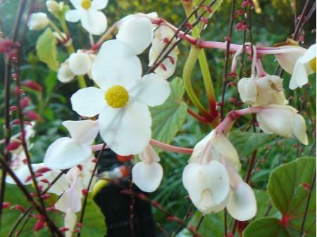 Begonia grandis ssp evansiana var. alba