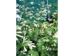 Cacalia delphinifolia