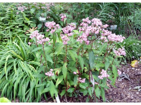 Cardiandra alternifolia SUAP13265