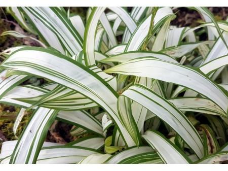 Carex siderosticha 'Shiro'