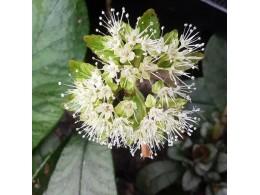 Chrysosplenium macrophyllum f. verte