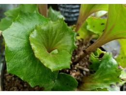 Farfugium japonicum 'Shinryu'