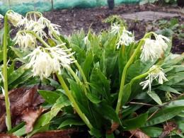 Heloniopsis orientalis var flavida 'Snow White'