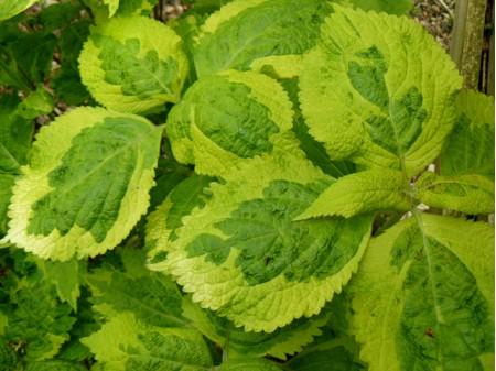Leucosceptrum stellipilum 'variegatum'