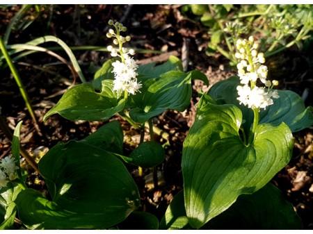 Maianthemum bifolium ssp kamtschaticum