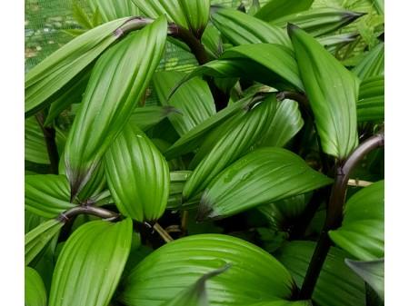 Maianthemum tatsienense 'Dark Form'