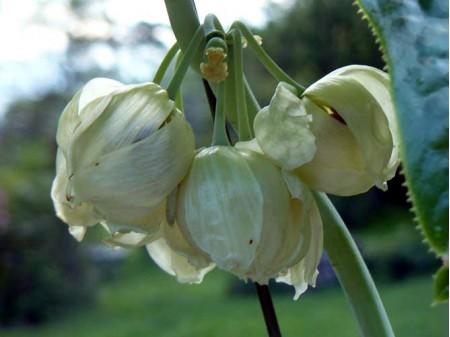 Podophyllum pleianthum 'Album'
