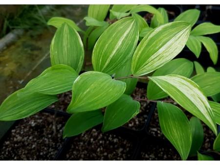 Polygonatum odoratum 'Shiroshima Fu'