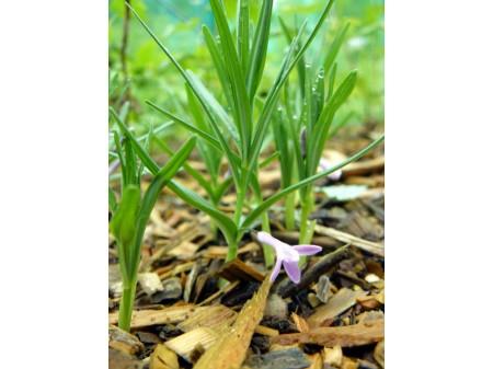 Polygonatum graminifolium