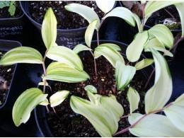 Polygonatum odoratum v. pluriflorum 'Koden Nishiki'