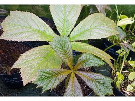 Rodgersia podophylla 'Donard Form'