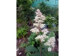 Rodgersia 'Green Jade Mountain'