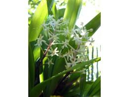 Speirantha convallarioides