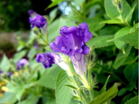 Strobilanthes attenuata ssp. nepalensis