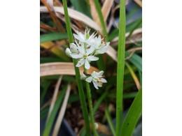 Tofielda glutinosa ssp. japonica