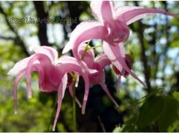 Epimedium 'Akagaki Sakura'