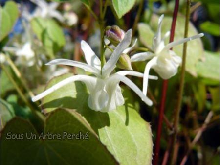 Epimedium x youngianum 'Azusa'