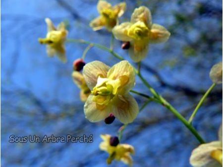 Epimedium pinnatum ssp colchicum 'Black Sea'