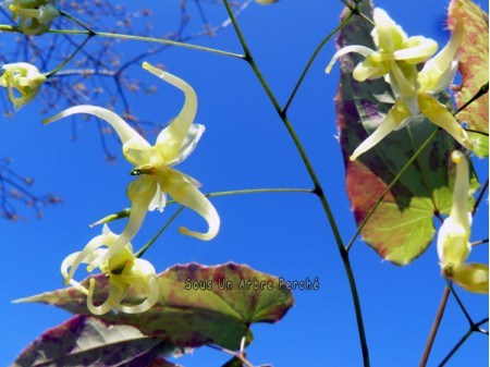 Epimedium chlorandrum