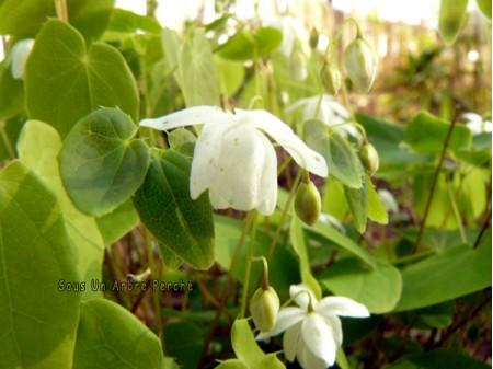 Epimedium 'Hakubai'