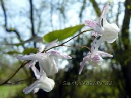 Epimedium 'Hime Shirohana'