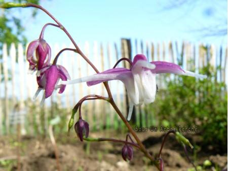 Epimedium grandiflorum 'Mukawa genpei'
