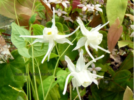 Epimedium 'Shiraito'