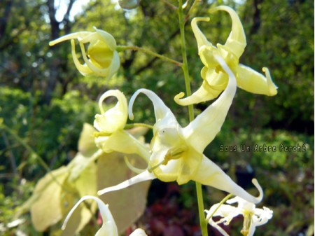 Epimedium sp. Jianxi