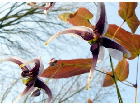 Epimedium acuminatum 'Kuro Fune'