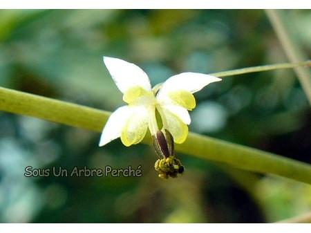 Epimedium baieali-guizhouense
