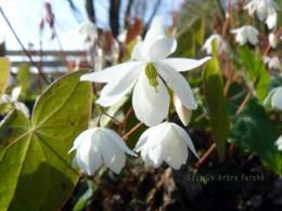 Epimedium diphyllum