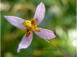 Epimedium elachyphyllum