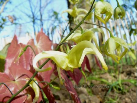 Epimedium franchetii 'Brimstone Butterfly'