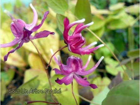 Epimedium grandiflorum 'Circe'