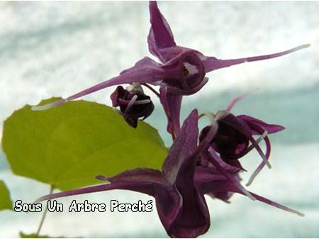 Epimedium grandiflorum 'Purple Prince'