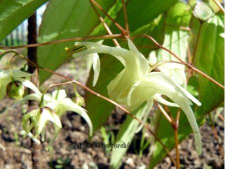 Epimedium grandiflorum ssp. koreanum 'La Rocaille'