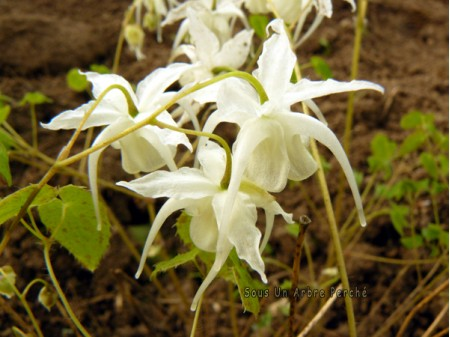 Epimedium grandiflorum var.higoense 'Speckled form'