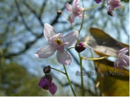 Epimedium milianthemum