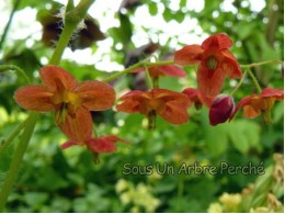 Epimedium x warleyense 'Orange Königin'