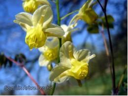 Epimedium pinnatum ssp colchicum