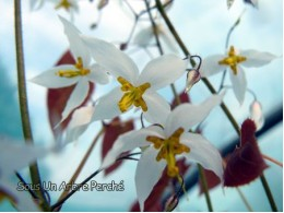 Epimedium stellulatum 'Wudang Star'