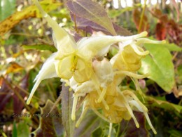 Epimedium wushanense nova 'Spiny Leaves Form'