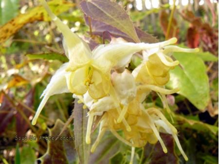 Epimedium wushanense nova 'Spiny Leaves Form'