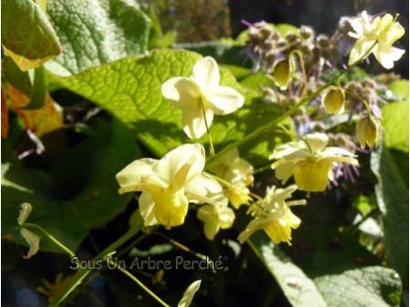 Epimedium x versicolor 'Sulphureum'